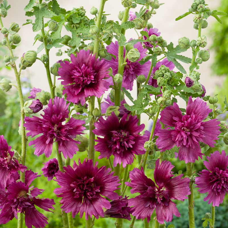 Alcea - Spring celebrities Purple (rastlina)