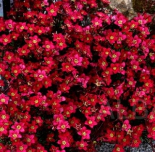Saxifraga - Rockies red (rastlina)