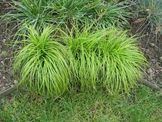 Carex - The beatles - Ostrica (rastlina)