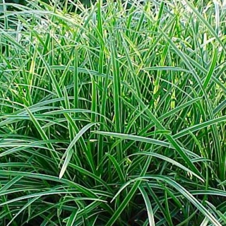 Carex - Ice dance - Ostrica (rastlina)