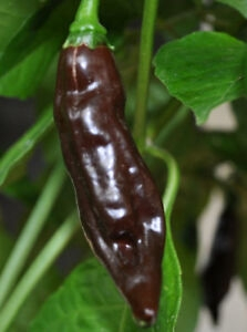 Fatalii  Brown (semená)