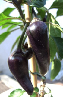 Serrano purple  (semená)