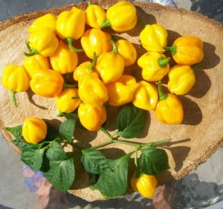 Scotch bonnet yellow (semená)